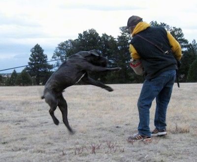 A black brindle with white Neapolitan Mastiff is attached to a leash and jumping at a man in a field holding a large pad.