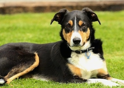 Side view - A tricolor black with white and tan New Zealand Heading dog is laying outside in grass.