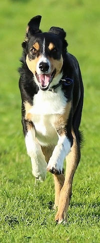 Front view action shot - A black with tan and white New Zealand Heading dog is running down grass on a lawn. Its mouth is open and its front paws are off the ground.