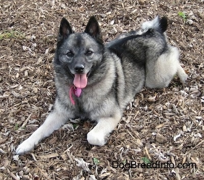 Tia the Norwegian Elkhound