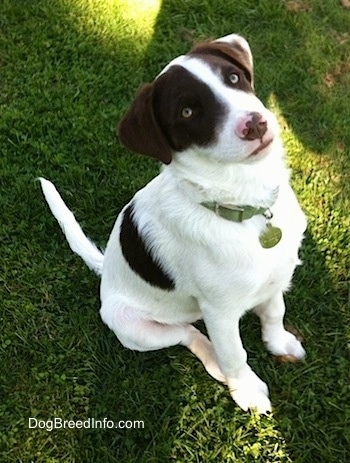 The front right side of a white with brown puppy that is sitting on grass