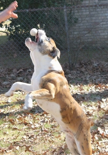 Action shot - A muscular brown brindle with white Olde English Bulldogge is jumping to catch a ball which is a half inch from its mouth. Its front paws are off of the ground.