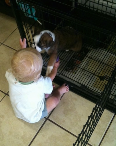 A brown brindle with white Olde English Bulldogge puppy is sitting in a crate with the door open. A toddler is reaching in and the puppy is reaching its paw back out to the baby.