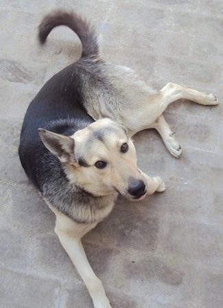 Tyson the Pakistani Shepherd Dog at 18 months old from Pakistan