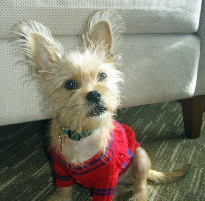 Front side view - A perk-eared, tan Papigriffon puppy is wearing a red with blue sweater looking up and forward in front of a white arm chair. The dog has fringe on its ears that is standing up and to the sides.