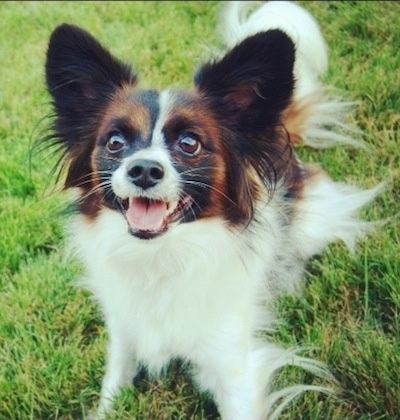 Close up front view - A playful looking, white with red and black Papillon is standing in grass looking up. Its mouth is open and it looks like it is smiling.