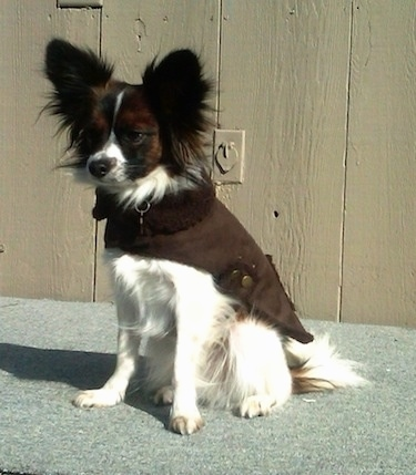 Front side view - A white with brown and black Papillon is wearing a brown jacket looking to the left sitting on a carpeted floor in front of a tan wood paneled wall.