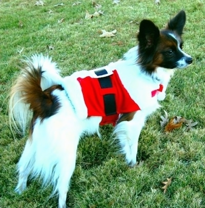 Side view - The left side of a white with brown and black Papillon wearing a red, white and black Santa jacket standing in grass looking to the right.