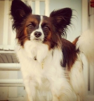 Close up front view - A white with brown and black Papillon standing on a step looking forward.