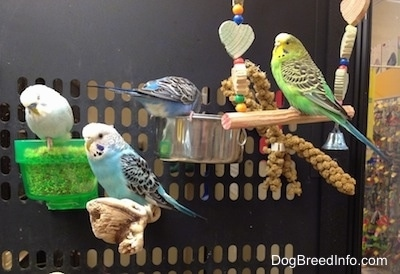 A white Budgie is standing in a see through green food dish and there are two blue with white and black Budgies standing on a stick and another food dish. There is a green with black, yellow and white Parakeet standing on a swing. Three of them are looking to the left.