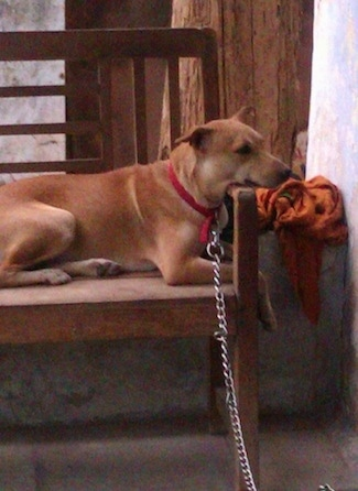 Side view - A large, short-haired, red with tan Pariah Dog is laying across a wooden bench with its head on the arm.