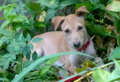 Front side view - A rose-eared, short-haired tand and white Pariah Dog is wearing a red collar laying in the middle of green weeds looking up and forward.