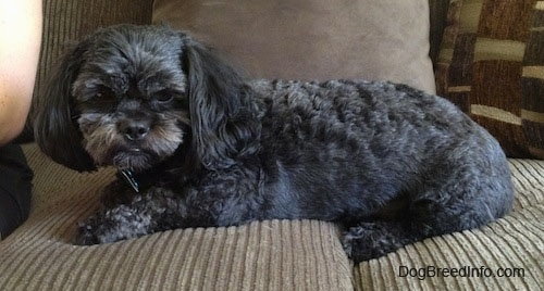 A wavy-coated, black with grey and tan Peek-a-poo is laying across a tan couch and it is looking over the edge of the couch. There is a person sitting next to it.