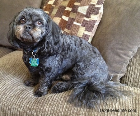 Side view - A wavy-coated, black with grey and tan Peek-a-poo is sitting on a tan couch looking towards the camera.