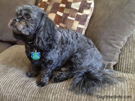 Side view - A wavy-coated, black with grey and tan Peek-a-poo is sitting on a couch looking up and to the left.