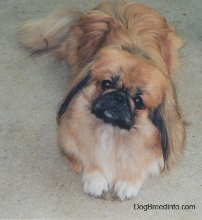Close up front view - A long coated, tan with white and black Pekingese is laying on a carpet. It is looking up and its head is tilted to the right.