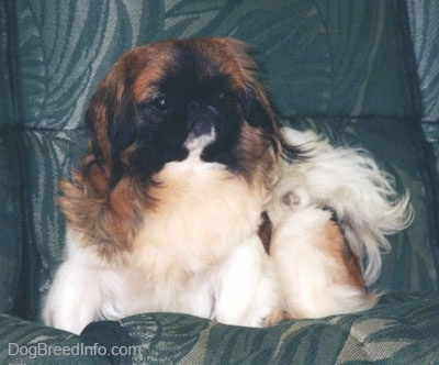 Front view - A white with brown and black Pekingese is sitting in a green leather chair and it is looking forward.