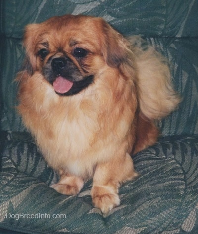 Front view - A brown with white and black Pekingese is standing on a couch and it is looking forward. It has its mouth open and tongue out.