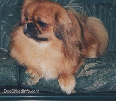 Front side view - A brown with white and black Pekingese is laying on a couch and it is looking to the left.