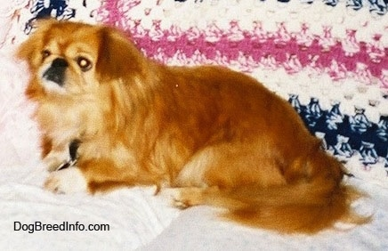 Side view - A brown with white Pekingese is laying across a white couch and it is looking to the left. There is a knitted blanket behind it.