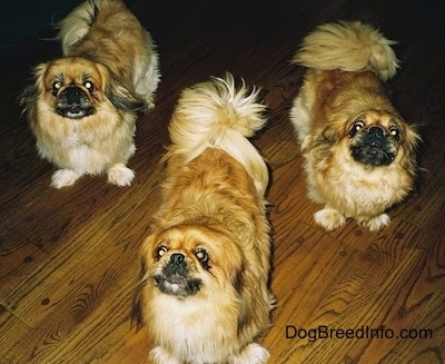 Three barking tan and brown with white and black Pekingese dogs are standing on a wooden floor and they are looking up.