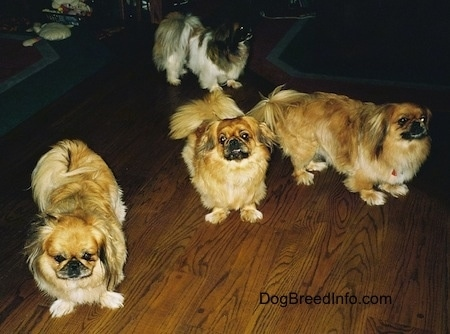 Three tan and brown with white and black Pekingese are standing on a wooden floor and they are looking forward. Behind them is a white with brown and black Pekingese dog looking to the right.