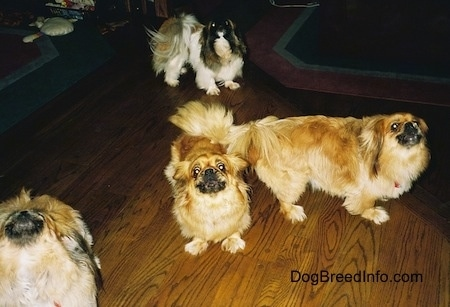 Four dogs - Three tan and brown with white and black Pekingese are standing on a wooden floor and they are howling. Behind them is a barking white with brown and black Pekingese.