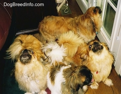 Three tan and brown with white and black Pekingese are howling with there heads up. There is a white with brown and black Pekingese dog looking to the right with its tongue showing. They are in front of a white glass door that leads to the outside.