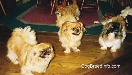 Three Pekingese are standing in front of a wooden step and they are looking to the right. There is a tan and brown with white and black Pekingese dog standing on a rug looking to the left behind them.