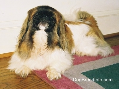 Front side view - A white with brown and black Pekingese is laying across a rug and it is looking up.