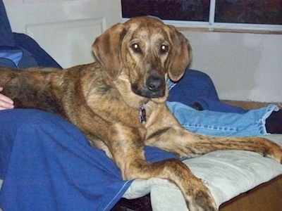 A brown brindle Plott Hound is laying in a recliner next to a person in bleu jeans looking forward.