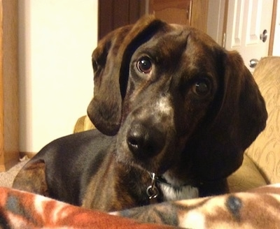 Close up - A black and brown with white Plott Hound is laying down on a couch and it is looking forward. Its head is slightly tilted to the right.
