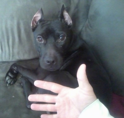 Close up head and upper body shot - A black Pocket Pitbull is laying in thecorner of a green couch and a person has the back of there hand on the dog's lower half. The dog has its ears cropped to a point.