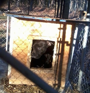 A black Pocket Pitbull dog is inside of a dog house with its head peering out the doorway.