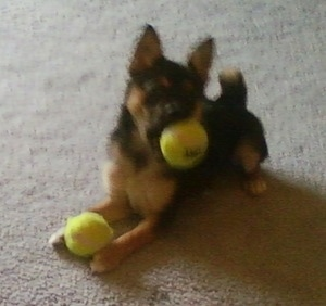 Front side view - A black with tan Pom Terrier puppy is laying on a carpet and it is playing with two tennis balls. One in the mouth and another in its front paws.