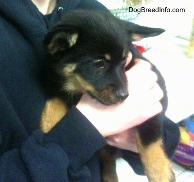 Close up - A black with tan Pomchi puppy is being held against a persons chest and is looking to the right.