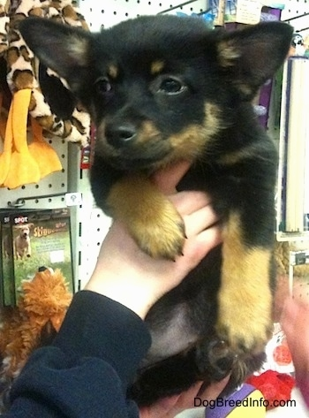 Close up - A black with tan Pomchi puppy is being held in the air by a person. It is looking to the left and its ears are perked but out to the sides. The dog is in a pet store.