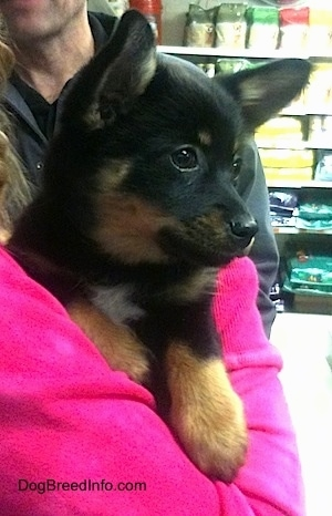 A short haired black with tan and white Pomchi puppy is being held against the chest of a person in a hot pink shirt looking to the right.