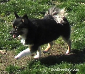 Side view - A black with white and tan Pomchi is walking across a field, it is looking to the left and Its mouth is open. It has longer fringe hair on its tail.