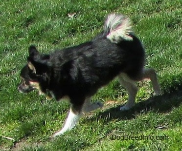 Side view - A black with white and tan Pomchi dog is walking down a hill.