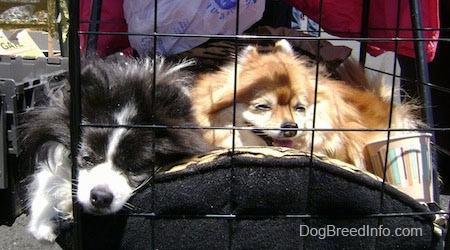 Close up - A black and white Pomeranian is sleeping next to a brown with white Pomeranian inside of a dog stroller outside on a sunny day.