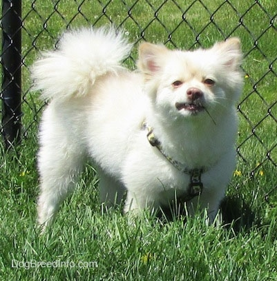 A white with tan Pomimo is standing in grass along a chainlink fence. It is looking forward and it looks angry. Its tail is curled up over its back.