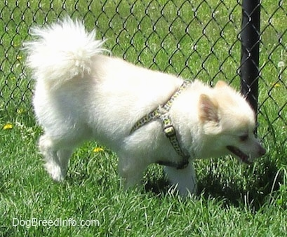 A white with tan Pomimo is walking alongside a chainlink fence. It is looking down at the grass and it is panting.