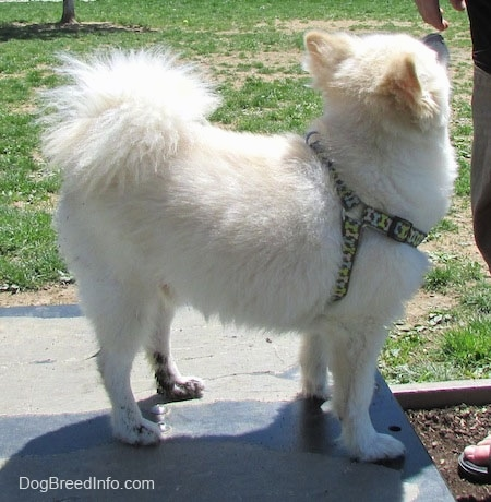 Right Profile -  A white with tan Pomimo is standing on a surface and it is looking to the left at a person that is standing in front of it. The dog is sniffing the person's hand.