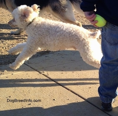 Action shot - A white with tan Miniature Poodle is jumping across a concrete surface with all four paws off the ground. There is a Shepherd dog behind it and in front of it is a person who is holding a green tennis ball behind their back.