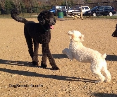 Baily the black Standard Poodle at 8 years old with Murphy the white Miniature Poodle at 1 year old