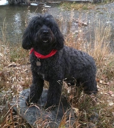 Front side view - A black Portuguese Water Dog is wearing a red bandanna standing up on a brown tree stump that is surrounded by brown grass and behind it is a body of water. It is looking up and forward. The dog has longer hair on its shaved wavy coat.