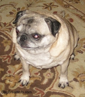 Topdown view of a graying, fat tan with black Pug that is sitting on a rug and it is looking to the left.