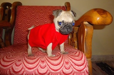 A small tan with black Pug puppy that is wearing a red jacket and it is standing on a wooden arm chair that has red and pink backing. It is looking over the edge of a chair. Its ears are triangular and small folding to the front and its eyes are buldging out of its head,