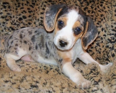 A gray spotted with black and tan and white Queen Elizabeth Pocket Beagle puppy is laying across a fluffy leopard print blanket looking forward and its head is tilted to the right.